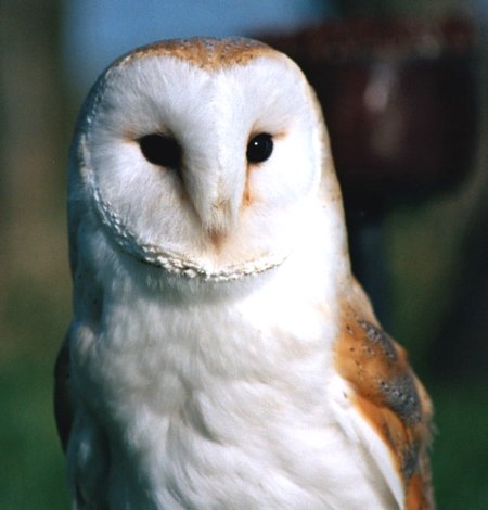 Barn Owl Pictures Great Pictures Of Barn Owls In The Wild